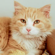 You can open your heart and your home to foster a cat like this 2-year-old orange tabby named Noel.