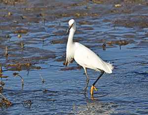 Snowy egrets are a rare and exciting find for birders like Des Moines-based photographer Whitney Rounds, who says they turn up along the Des Moines and Raccoon rivers now and then on their migratory travels. Photographer: Whitney Rounds.